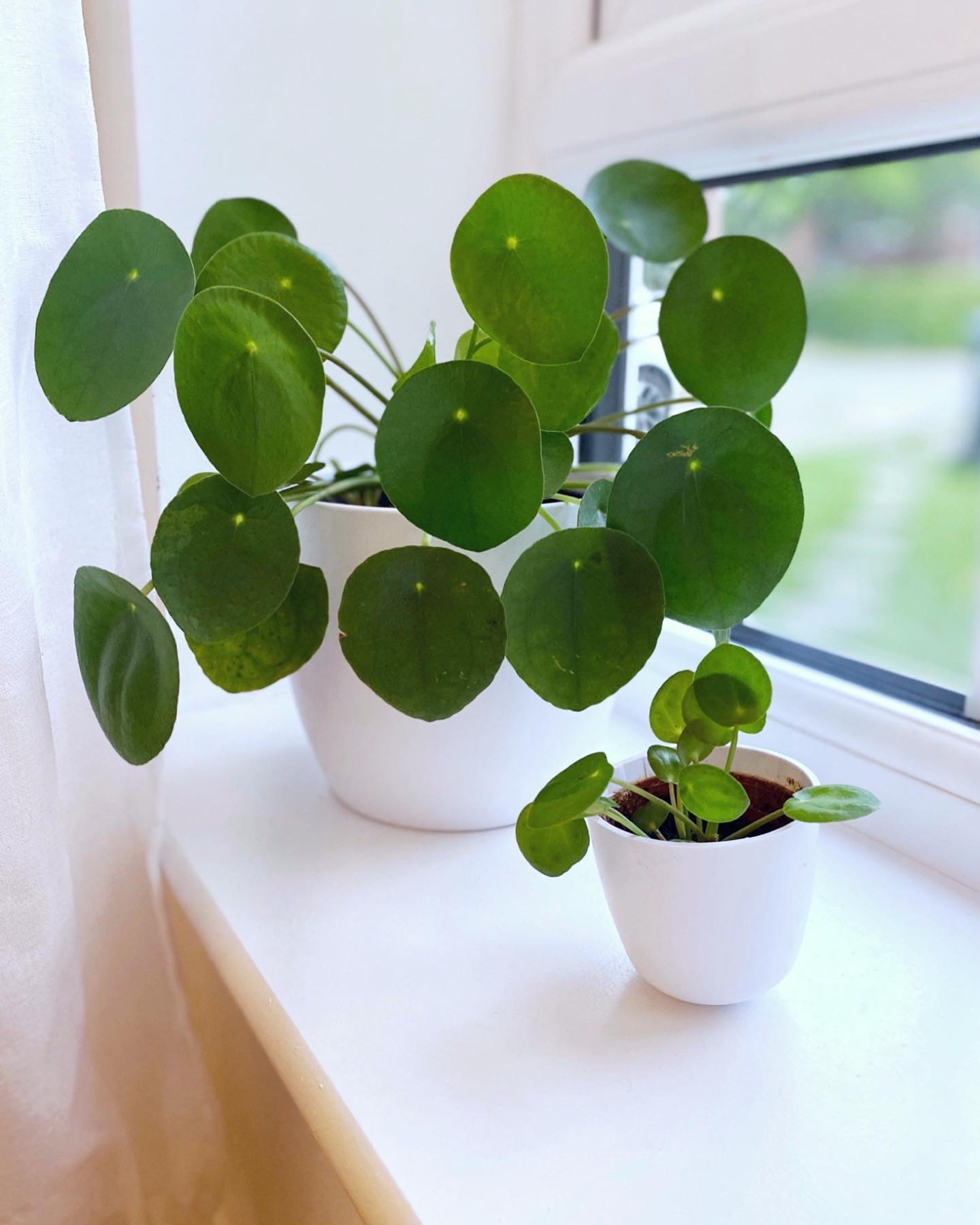 How to propagate a Pilea Peperomioides