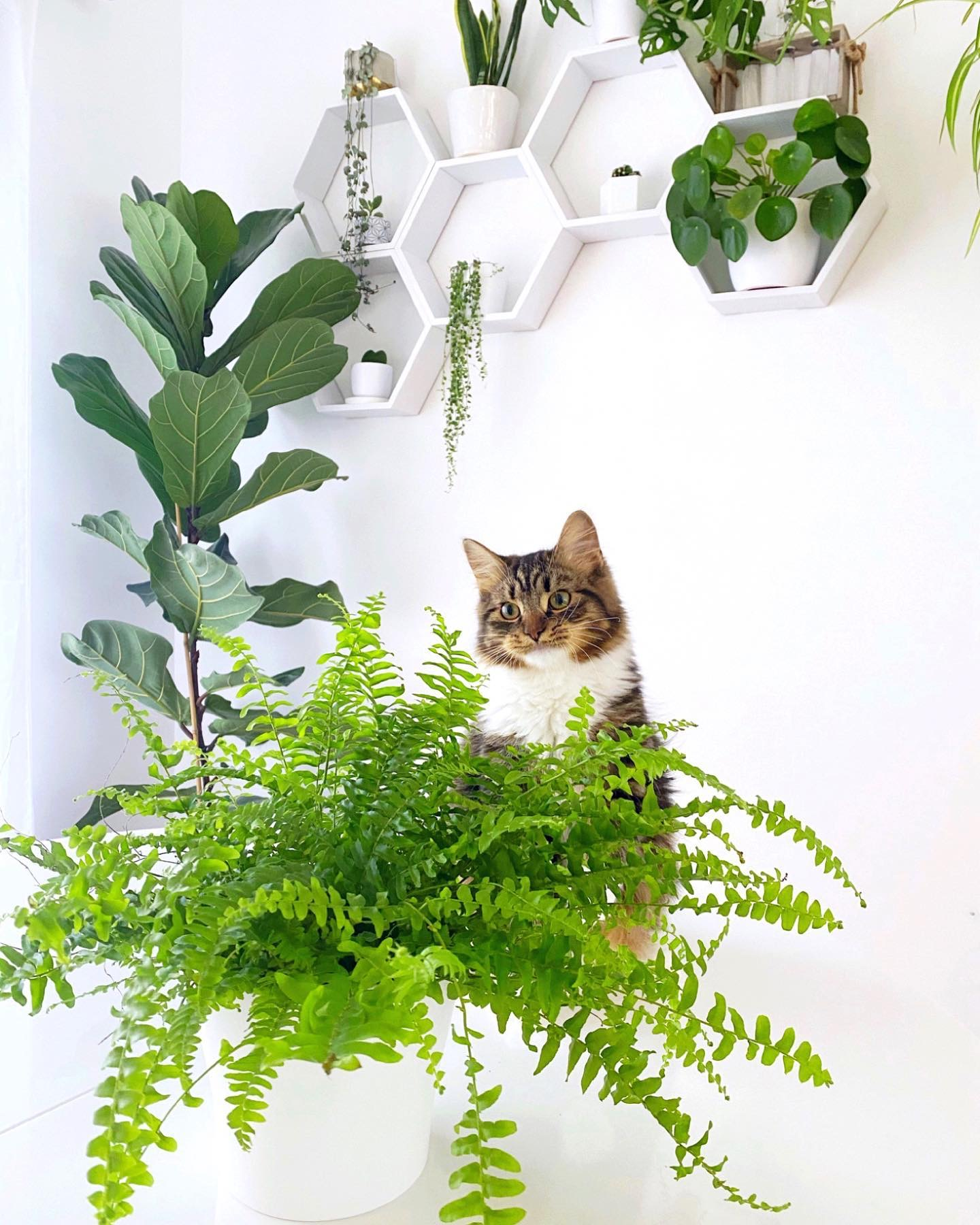 How to care for a Boston Fern